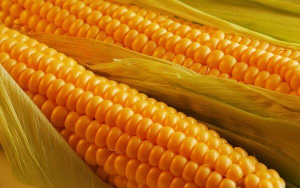 Гибриды силосной кукурузы